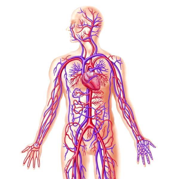 مبادئ الأحياء - جسم الإنسان