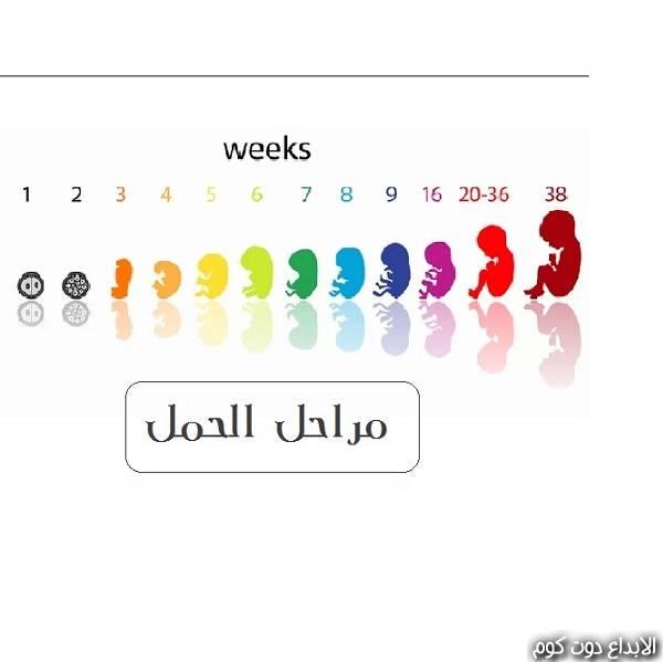 مراحل الحمل و تطور الجنين