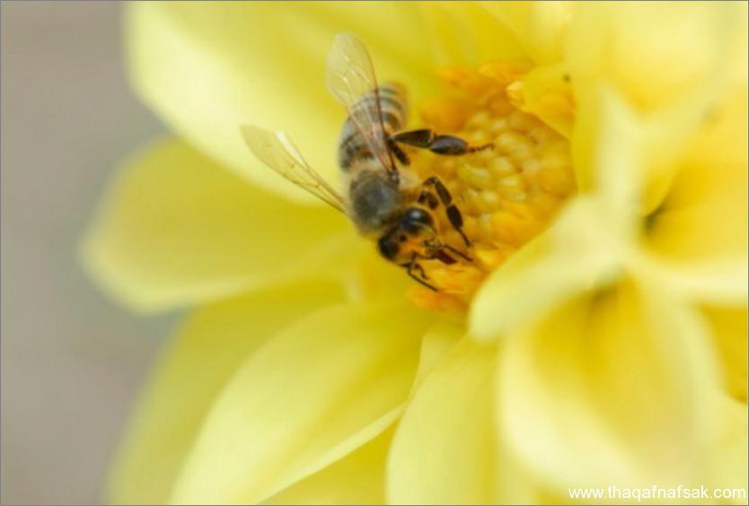 النحل- ثقف نفسك 9