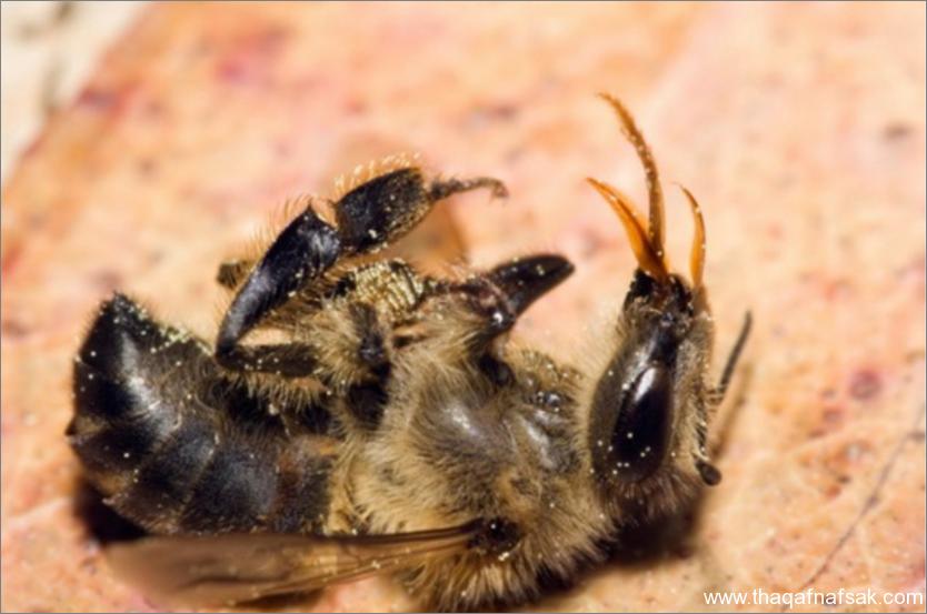 النحل- ثقف نفسك 11