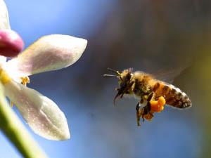 نحلة شغالة تحمل سلة اللقاح في ارجلها الخلفية