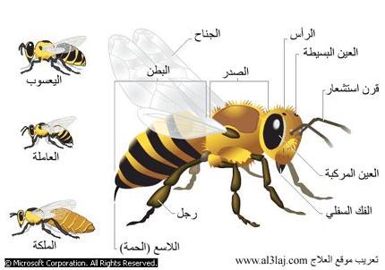 مواصفات النحل