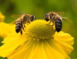 عالم النحل