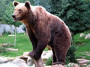 عالم الدببة